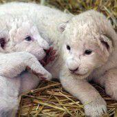 Niedliche Löwen-Babys