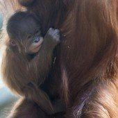 Niedliches Orang-Utan-Baby