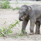 Elefanten-Baby Anjuli erkundet Auslauf