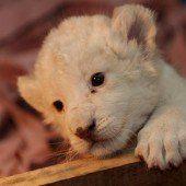 Entzückendes Löwenbaby