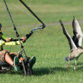 Forscher bringt Graugänsen das Fliegen bei