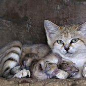Seltene Sandkatzen