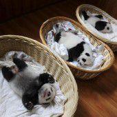 Panda- Babys im  Tiefschlaf