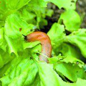 Schnecken im Garten biologisch bekämpfen