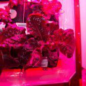 Frischer Weltraum-Salat für die Crew auf der ISS