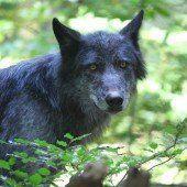 Wolf kam aus der Schweiz