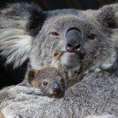 Kranke Koalas werden getötet
