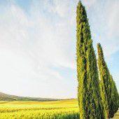 Zypressen in der Toskana