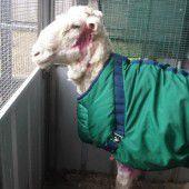 Rekord-Schur: Schaf von 40 Kilo Wolle befreit