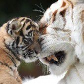 Kleiner Tiger auf Kuschelkurs