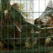Fluchtversuch endet für Orang-Utan tödlich