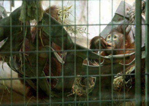 Zwei Orang-Utans sitzen im Gehege des Duisburger Zoos. Tierschützer kritisieren die Haltung in Gefangenschaft.