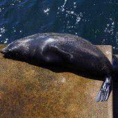Seehund sonnt sich in Sydney