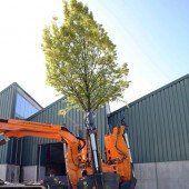 14 Bäume am Messegelände ausgegraben