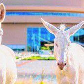 Zu den weißen Eseln wandern