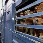 Regeln für Kälbertransporte werden unterschiedlich interpretiert