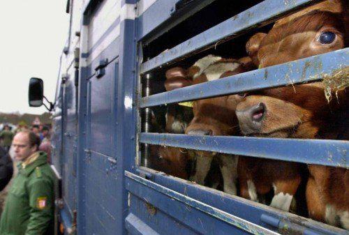 Im Jahr 2017 wurden laut Gesundheitsministerium 118.819 Rinder (inkl. Kälber) exportiert und 116.836 nach Österreich importiert. DPA