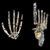 Homo naledi konnte mit Händen offenbar Werkzeuge bedienen