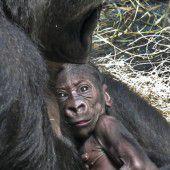 Gorillababy auf Kuschelkurs