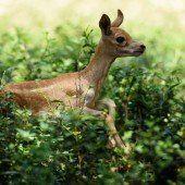 Antilopen-Baby genießt Auslauf