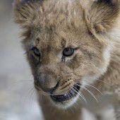 Niedliches Löwenbaby