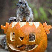Halloween-Kürbis für Erdmännchen