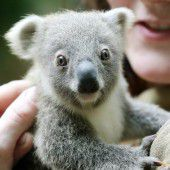 Koala-Nachwuchs im Duisburger Zoo