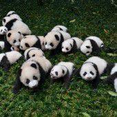 Niedliche Panda-Gruppe