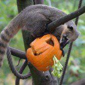 Nasenbären feiern Halloween