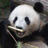 Fu Bao zieht bald nach China