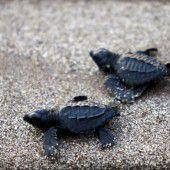 El Salvador wird zum Schildkrötenparadies