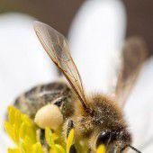 Koffein im Nektar macht Honigbienen süchtig