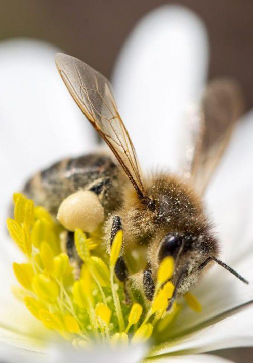 Pflanzen verführen Bienen mit Koffein im Nektar, ohne unbedingt die beste Qualität anzubieten.