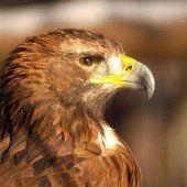 Der hat nicht nur Augen wie ein Adler
