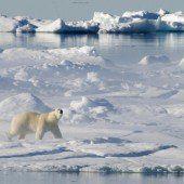 Klimawandel gefährdet Überleben der Eisbären