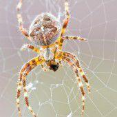 Wie Spinnenmännchen die Vaterschaft sichern