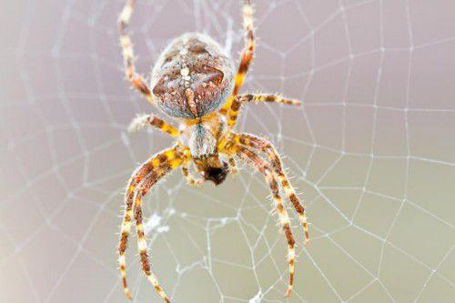 Die Forscher haben bei mindestens 80 Spinnenarten Hinweise darauf gefunden, dass bei diesen die weiblichen Genitalien verstümmelt werden.