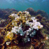 Forscher auf der Suche nach der Super-Koralle