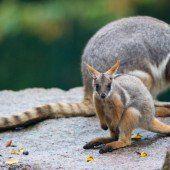 Kleines Gelbfuß-Felsenkänguru