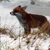 Füchse: Bakterium entdeckt