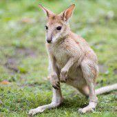 Enzückendes Wallaby-Baby