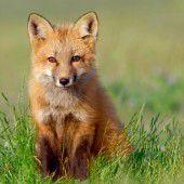 Es geht ein schlauer Fuchs herum