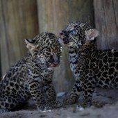 Jaguar-Geschwisterchen