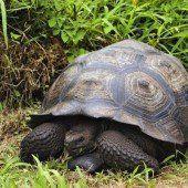 Neue Schildkröten-Spezies auf den Galapagos-Inseln entdeckt