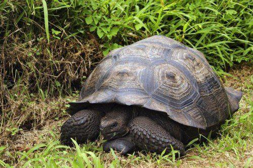 Von ursprünglich 15 Galapagos-Schildkrötenarten gelten drei als ausgestorben. afp