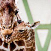 Liebevolle Giraffenmama