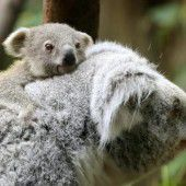 Entzückender Koala-Nachwuchs