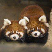 Rote Panda-Babys entzücken Chicago