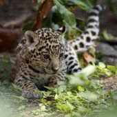 Raubkatzen-Babys in Ecuador