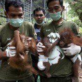Drei kleine Orang-Utans gerettet